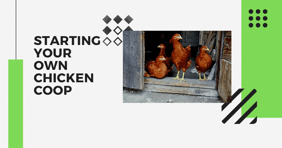 Starting Your Own Chicken Coop